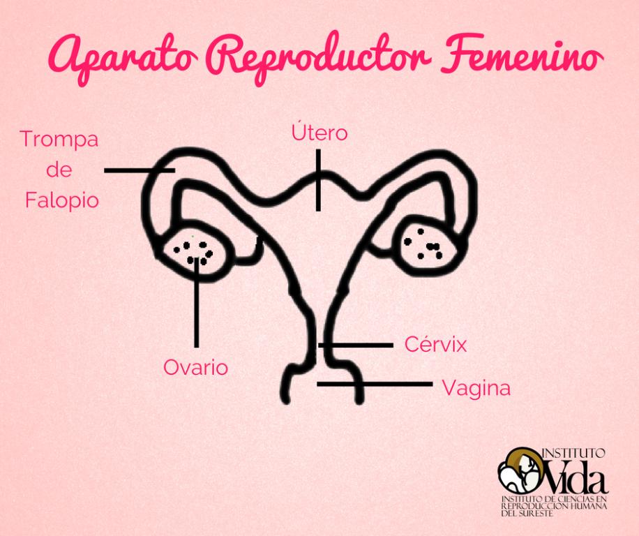 El Aparato Reproductor Femenino - Instituto Vida Mérida - Mérida ...